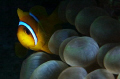  Clownfish. Clownfish  